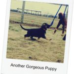 Contact Merivern for Phoenix bloodlines - puppy image