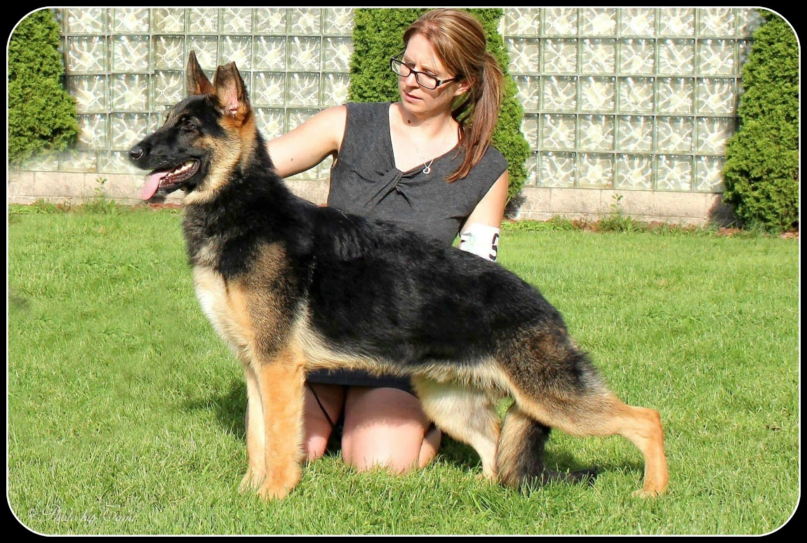 SkyLyne s Ace of Spades v Jezra best puppy MI shows image